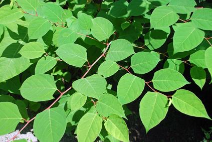 Rdest japoński zioła